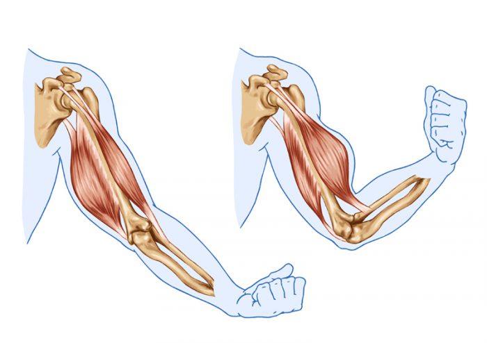 bicepsmuskelns anatomi